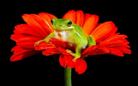Frog, red flower, black background