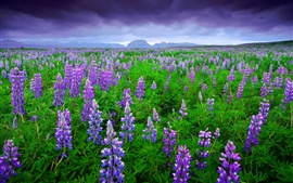 Preview wallpaper Iceland, lavender fields, purple flowers, mountains, sky, clouds, summer