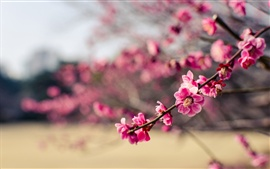 Preview wallpaper Japan, park, pink flowers plum