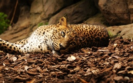 Leopard lying ground, eyes, stones