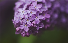 Lilac purple flowers, petals macro, green background