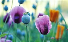 Aperçu fond d'écran Les fleurs de pavot