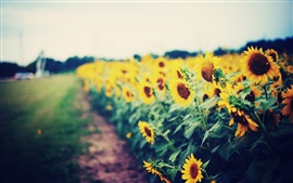 Preview wallpaper Sunflowers garden