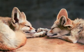Preview wallpaper Two sleeping foxes