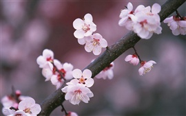 Preview wallpaper A tree branch cherry flowers blooming