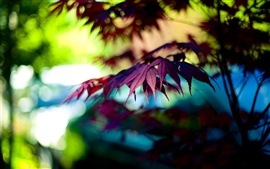 Autumn purple maple leaves, bokeh