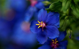 Preview wallpaper Blue wild flower close-up