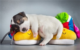 Cute puppy sleep on shoes