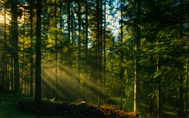 Preview wallpaper Forest trees, sun rays