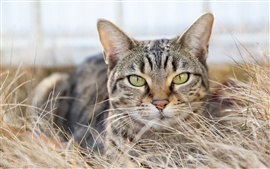Preview wallpaper Gray striped cat hidden in the dry grass