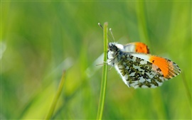 Green background, butterfly, grass