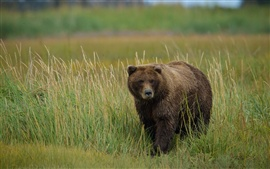 Preview wallpaper Grizzly bear in the grass