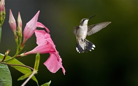 Hummingbird flying, pink flowers