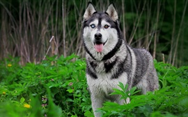 Preview wallpaper Husky dog, nature, animals