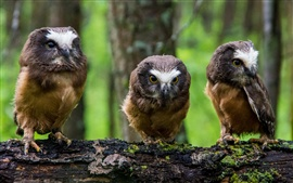 Preview wallpaper North American boreal owl, three little owls