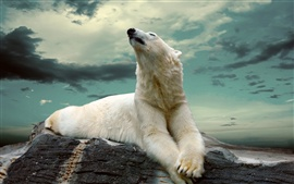 Preview wallpaper Polar bear, rocks, dusk
