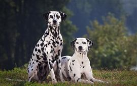 Two dalmatian dog