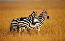 Preview wallpaper Two zebras in summer grasslands