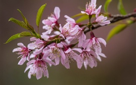 A branch flowers close-up, pink sakura