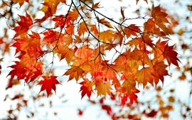 Preview wallpaper Autumn branch red maple leaves