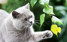Preview wallpaper Black british cat, paw, leaves, green