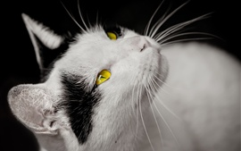 Preview wallpaper Cat, white and black, yellow eyes