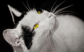 Chat, yeux jaunes, blancs et noirs