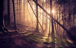 Forest, pine trees, sun rays