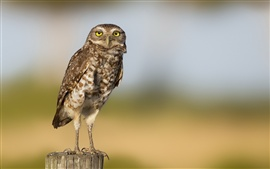 Preview wallpaper Lonely owl, blurred background