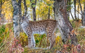Lynx in the autumn forest