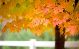 Preview wallpaper Maple tree leaves, autumn