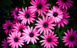 Crisantemo rosado, flores hermosas