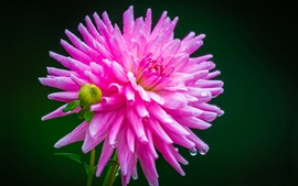 Preview wallpaper Pink dahlia, dew, water drops
