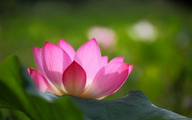 Pink lotus flower, green leaves, blur background