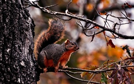 Preview wallpaper Red squirrel on the tree