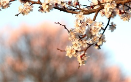 Preview wallpaper Spring flower blossom, cherry flowers