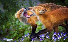 Duas raposas, flores, grama