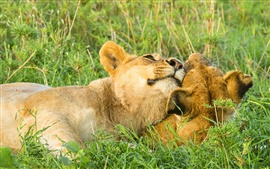 Preview wallpaper Two lions play at savanna