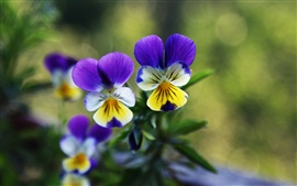 Preview wallpaper Two pansies flowers, green background