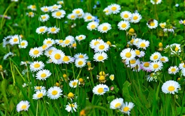 Preview wallpaper White daisy flowers, grass, leaves, green