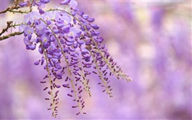 Preview wallpaper Wisteria purple flowers, branch, blur background