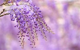 Wisteria purple flowers, branch, blur background