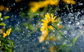Yellow flowers, raindrops, glare