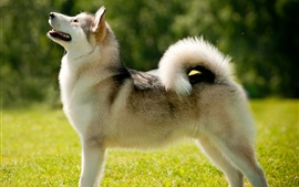 Aperçu fond d'écran Malamute d'Alaska chien
