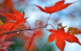 Preview wallpaper Autumn, red maple leaves, water droplets