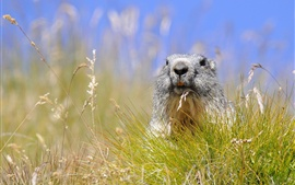 Preview wallpaper Grass, rodent marmot, summer