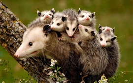 Preview wallpaper Possums, mother and children