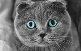 Gato Scottish Fold, olhos, rosto