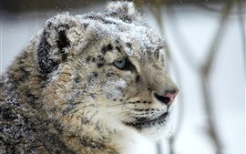 Preview wallpaper Snow leopard, face, eye, predator, snow