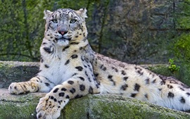 Preview wallpaper Snow leopard on the stone